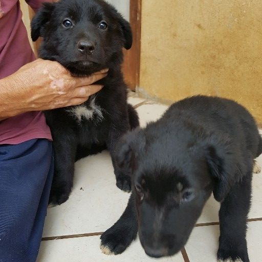 3 x female Border Collie pups for sale, vet checked, inoculated and dewormed