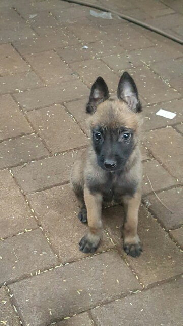Belgian Malinois puppies