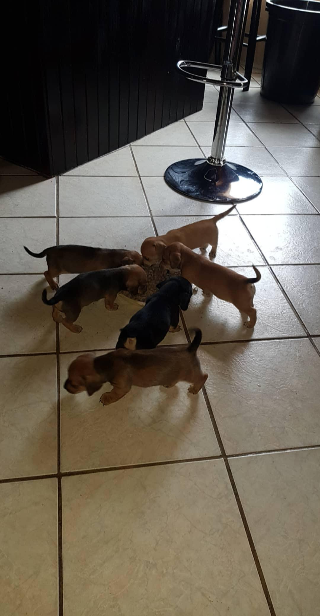 Miniature Duchound Puppies - Pure Breed