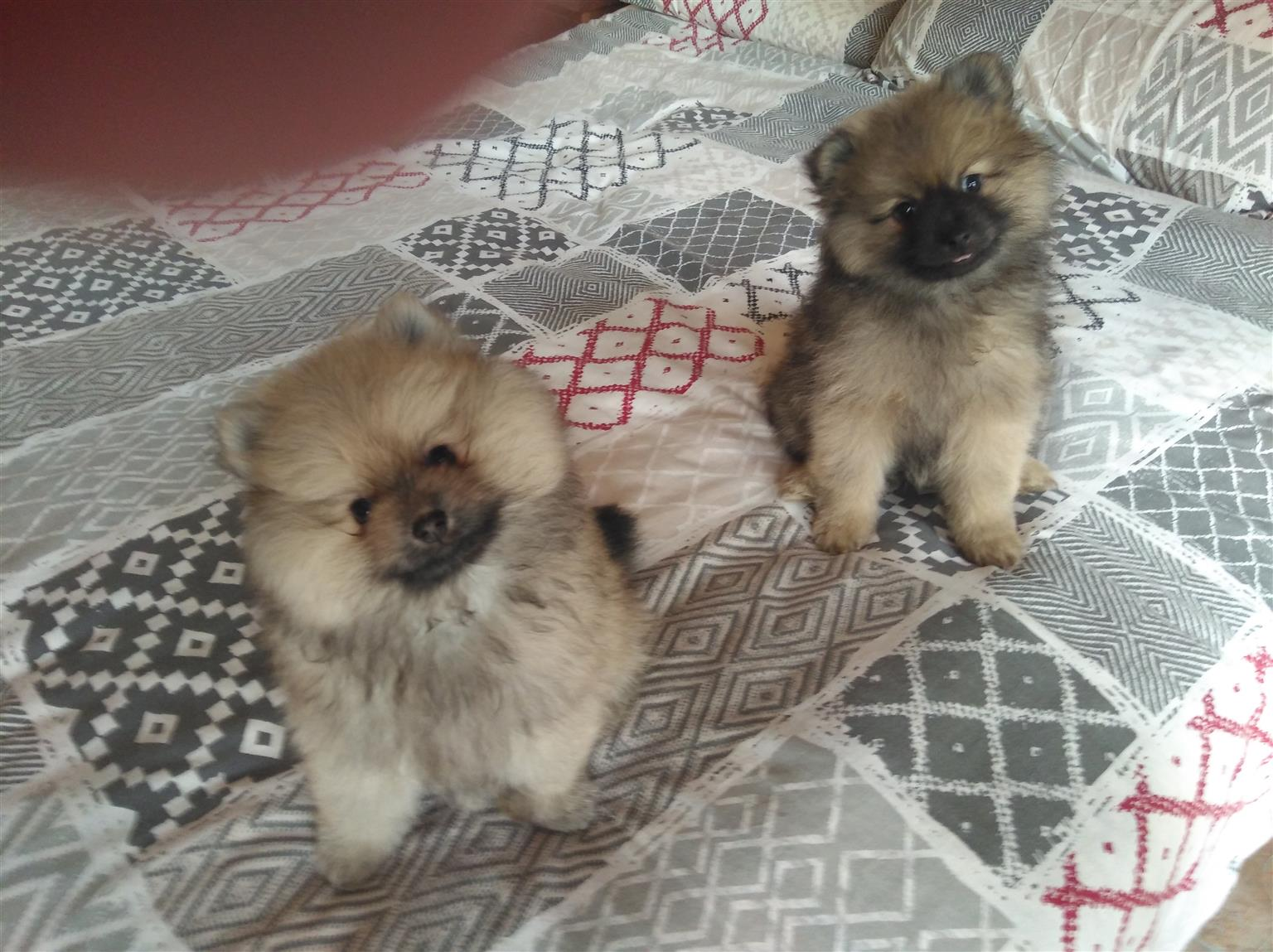 LOVELY PUREBRED POMERANIAN PUPPIES.