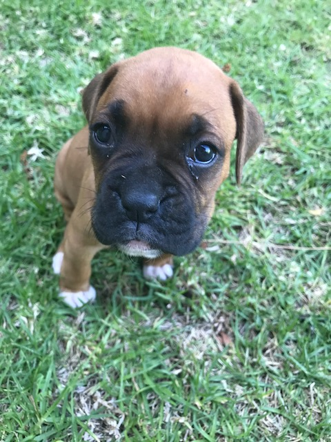 Female Boxer puppy for sale