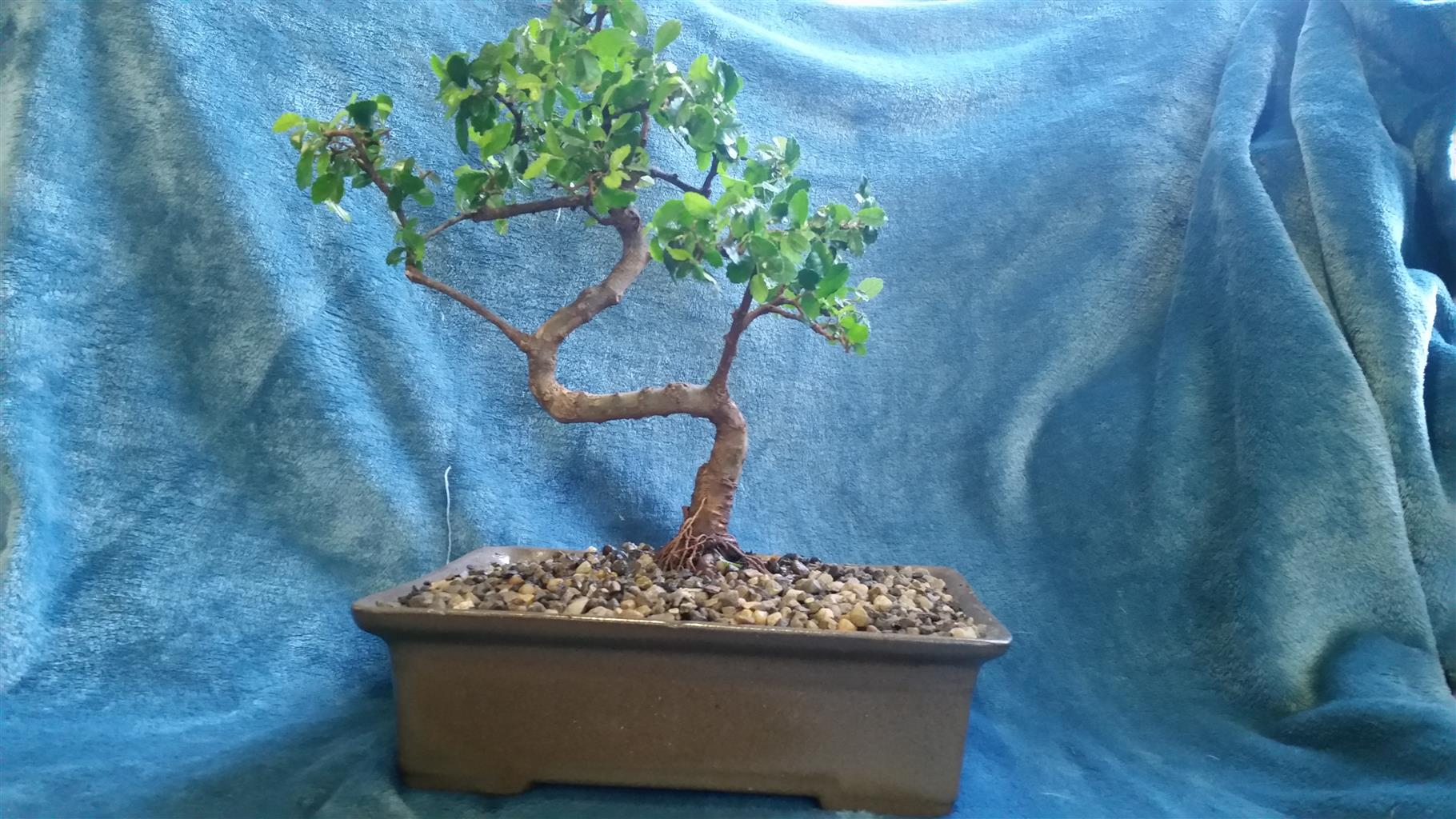 Chinese Elm Bonsai For Sale Junk Mail Wiring