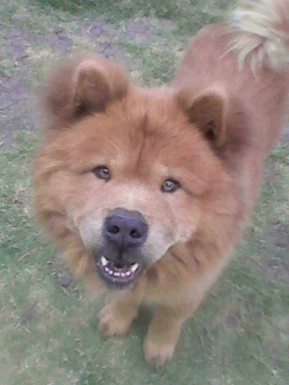 Male Chow for sale