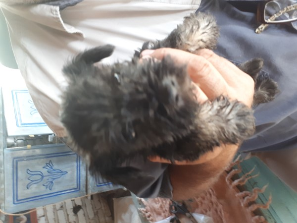 MINIATURE SCHNAUZER PUPPIES FOR SALE NOW ON ORDER 3 weeks old to go on 7 WEEKS