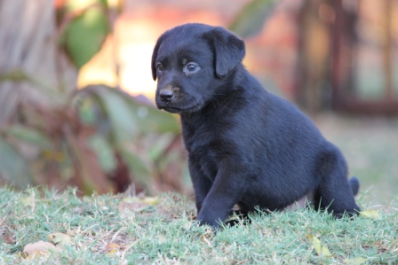 Registered Black Labrador Puppies for sale