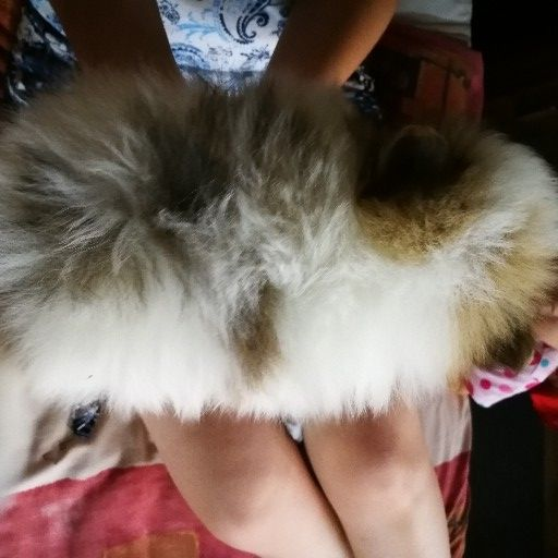 "Pomeranian ""Parti poms"""