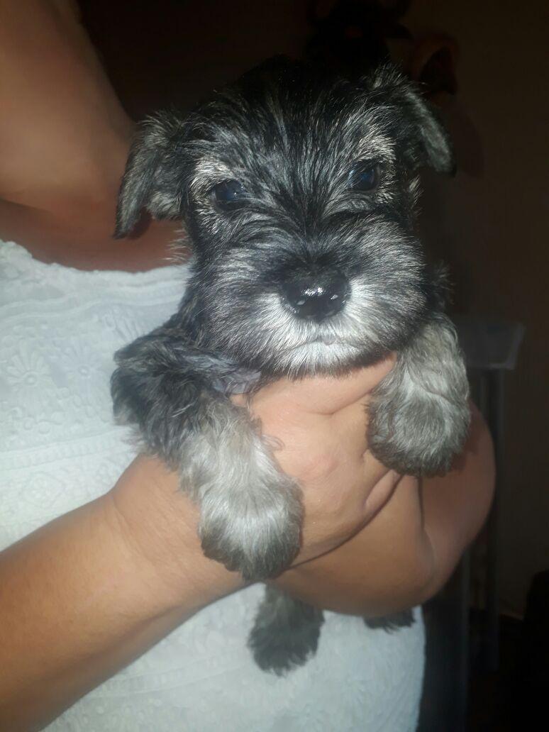 Miniature Schnauzer puppies males