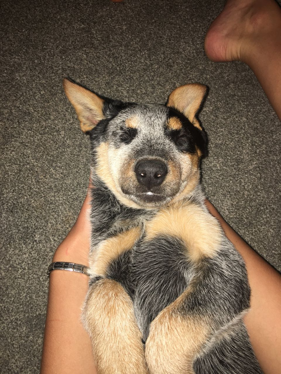 Female australian cattle dog puppy for sale