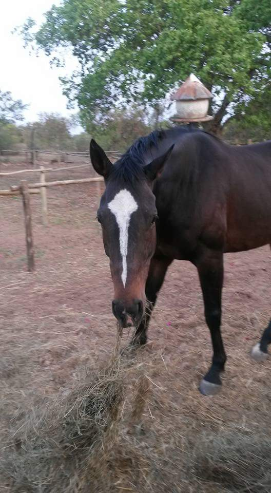Thoroughbred mare for sale.