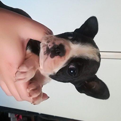 French bulldog x female