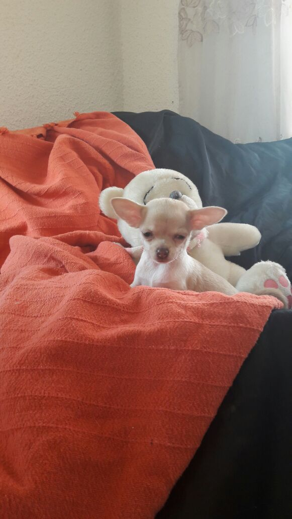 CHIHUAHUA REGISTERED