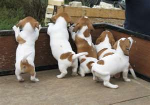 Jack Russel pups, vaccinated.