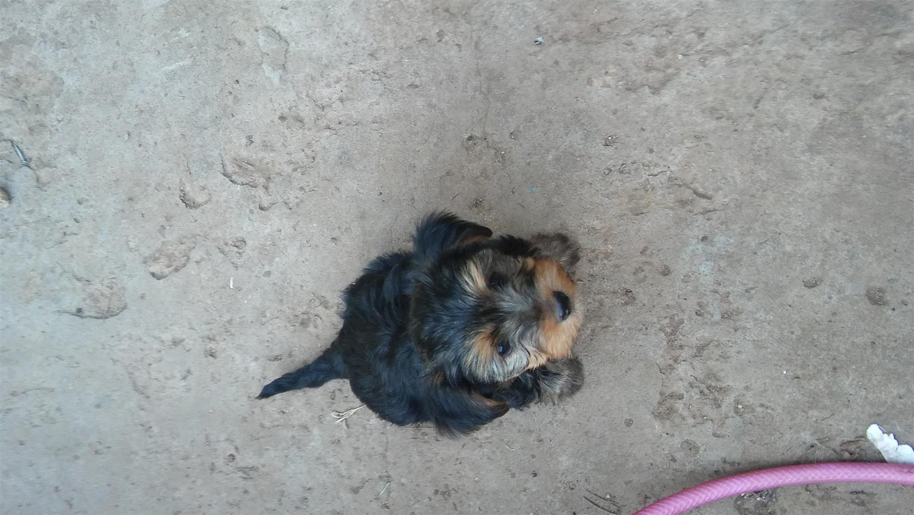 Yorkie puppie for sale