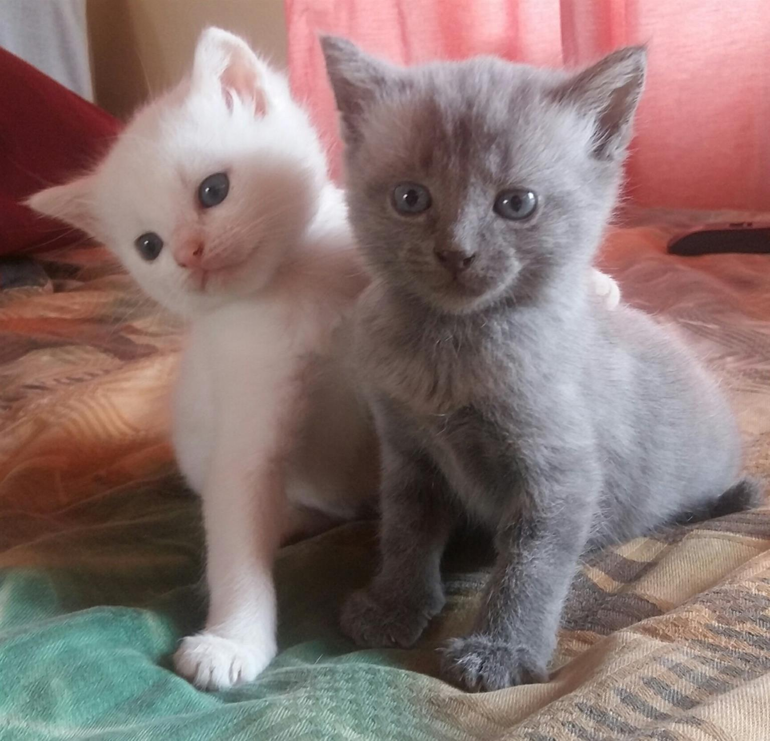 2x Beautiful kittens White-Siamese and Grey