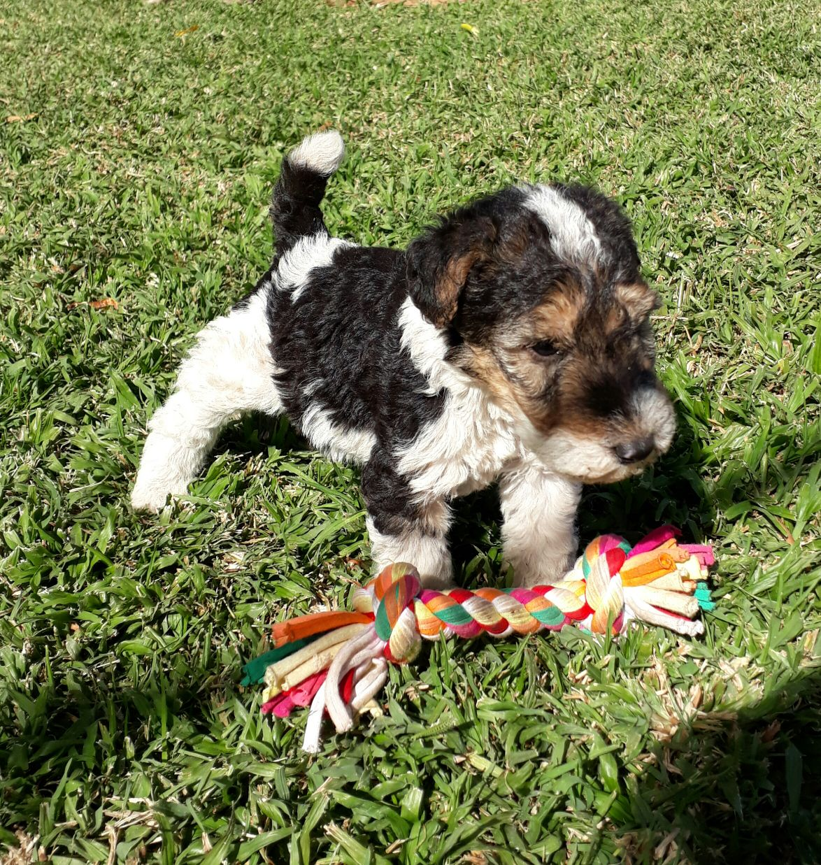 Wire hair terrier puppies