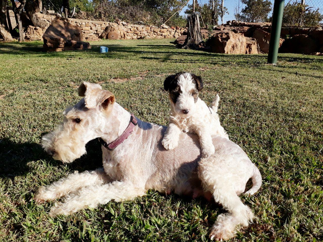 Wire hair terrier puppies