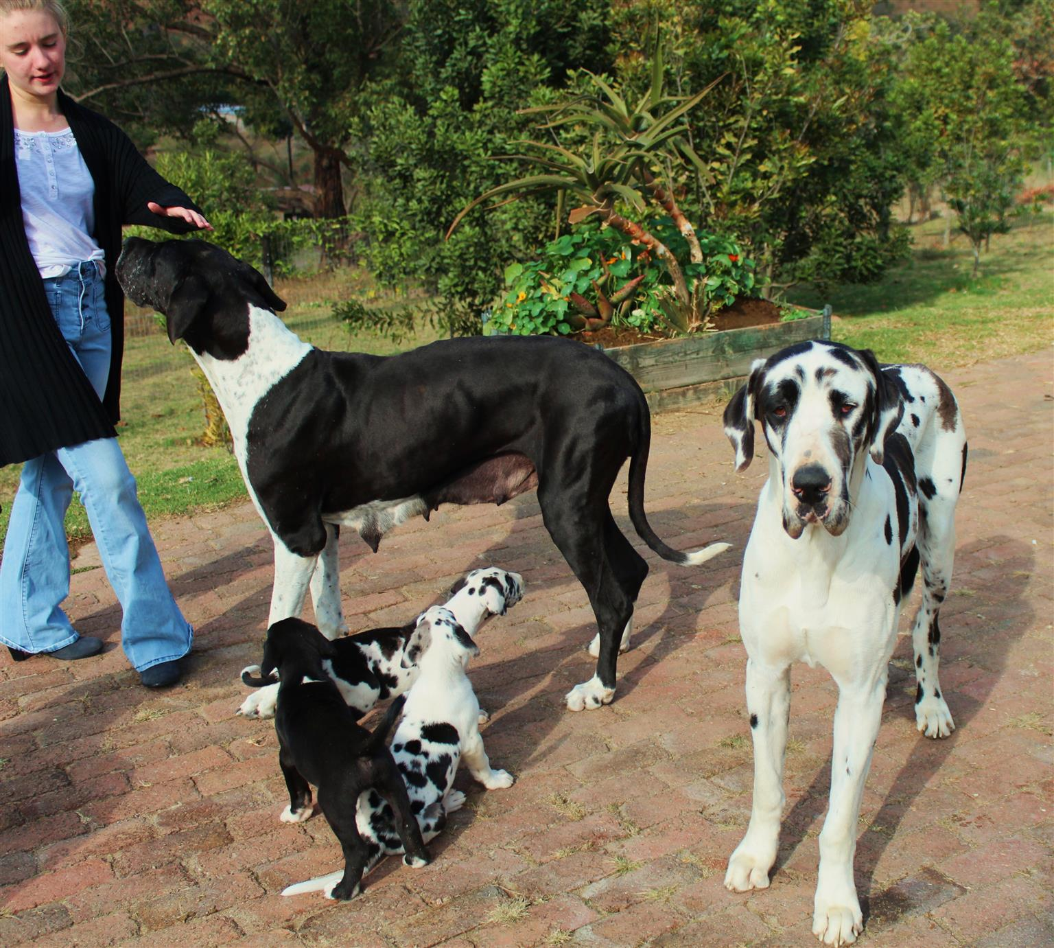 Great Danes Pup for Sale