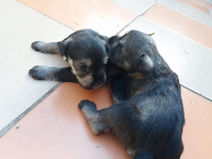 Miniature Schnauzer Puppies 2x males