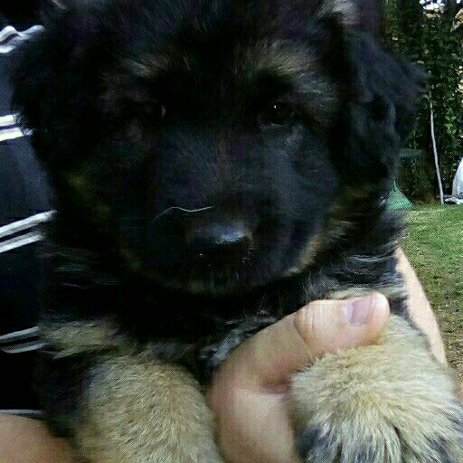 German Shepherd male pup