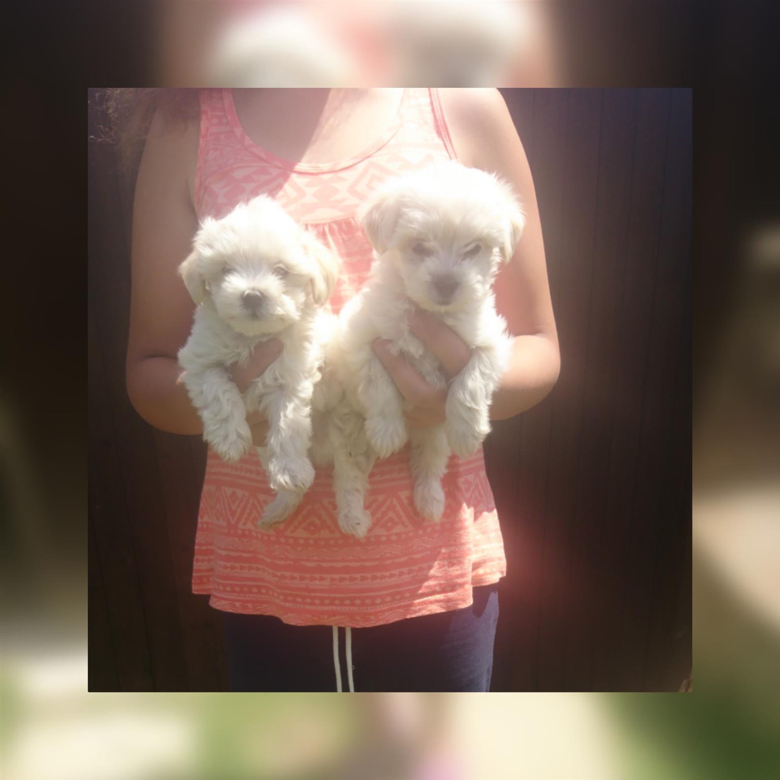 Mini Poodel pups