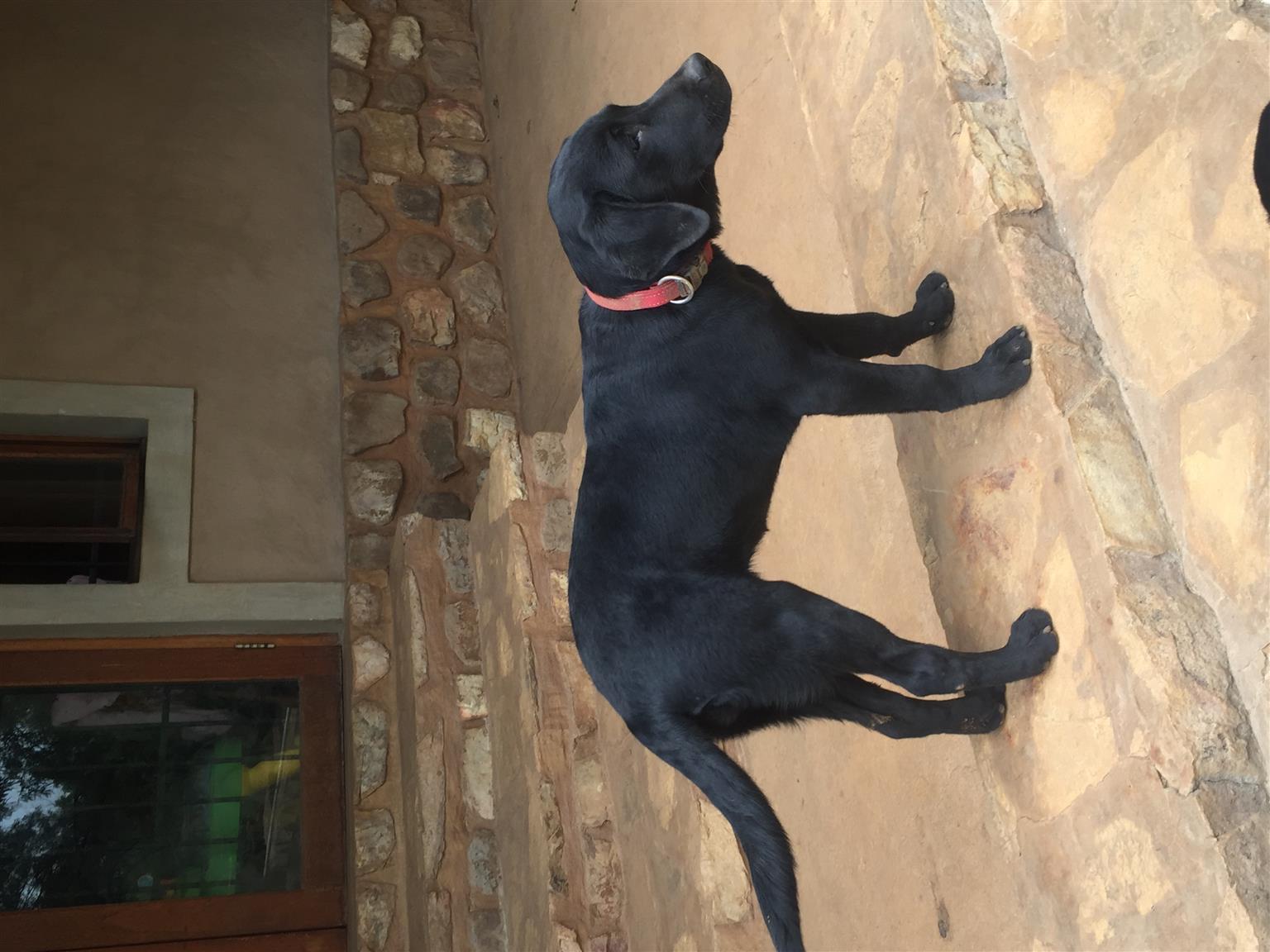 KUSA Labradors