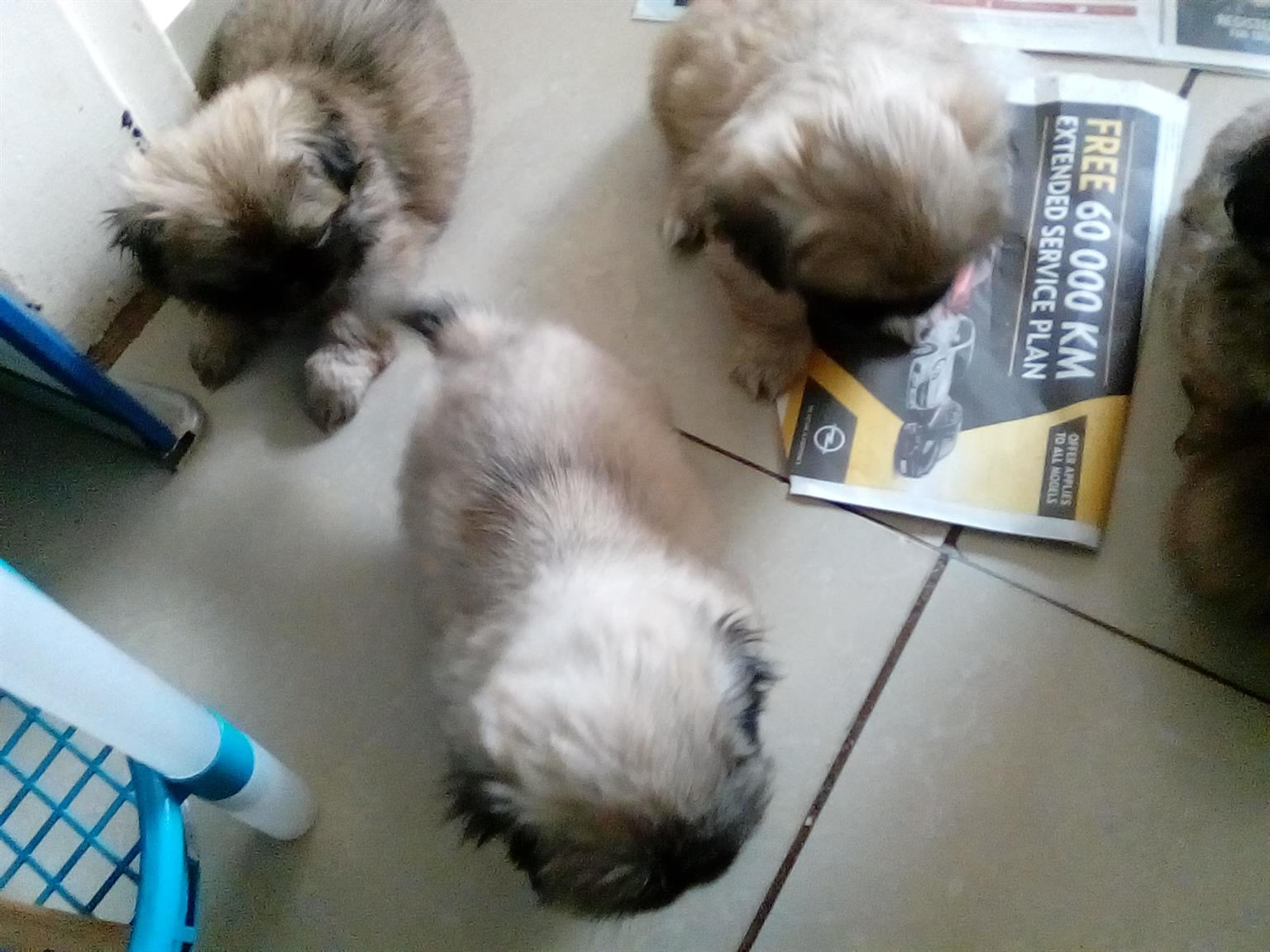 Pekinese puppies
