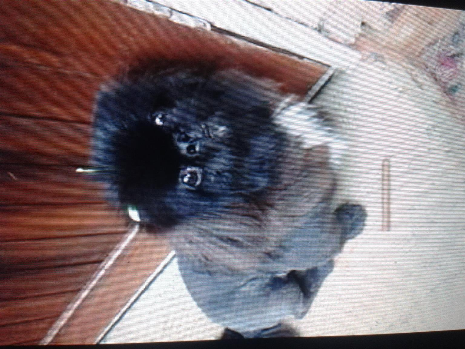 pekingese pupies