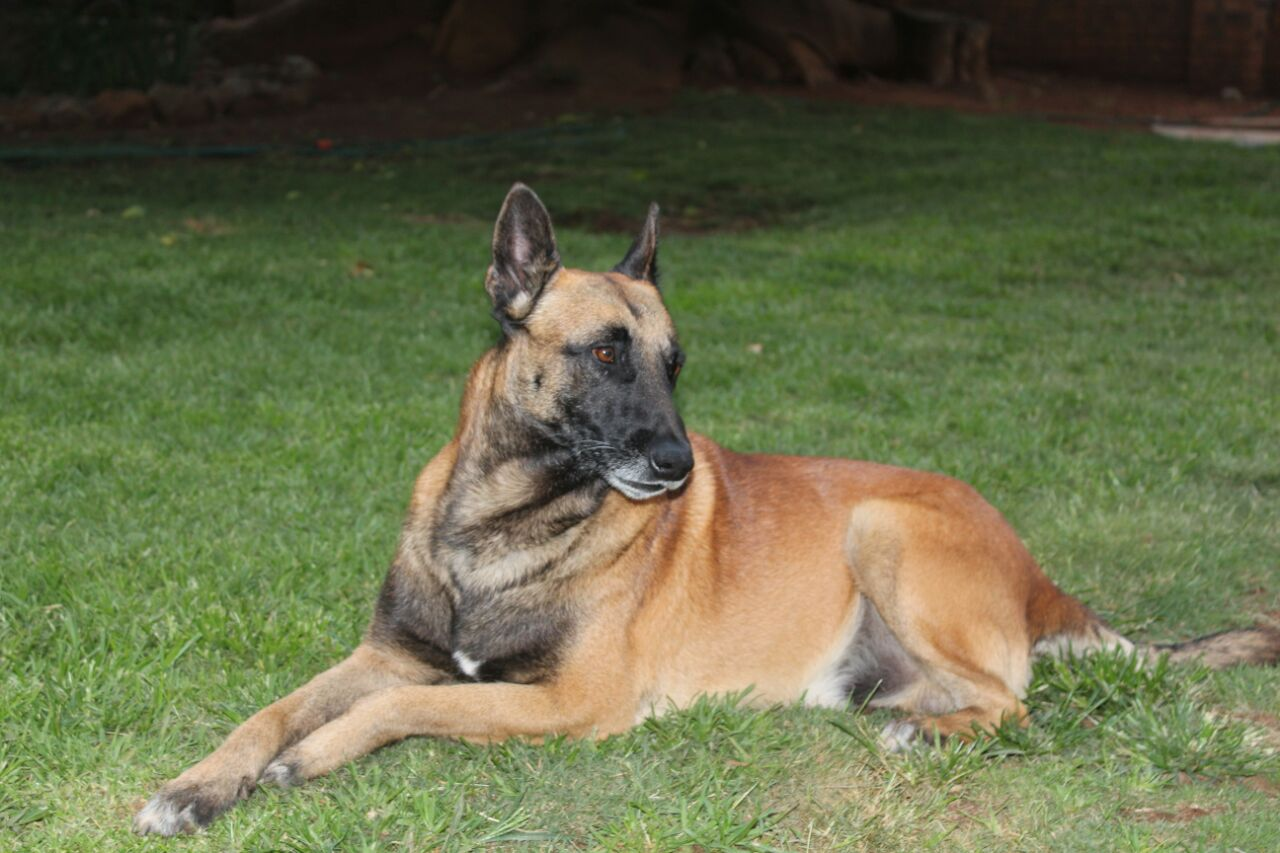 Adult Malinois Male for sale