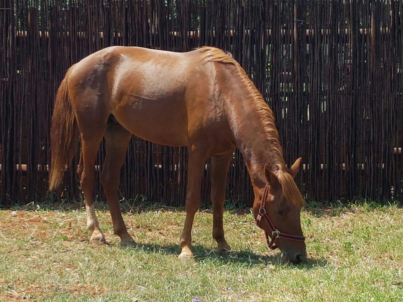 Stunning boerperd stallion