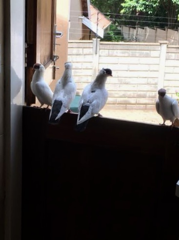 Helmet Pigeons for Sale