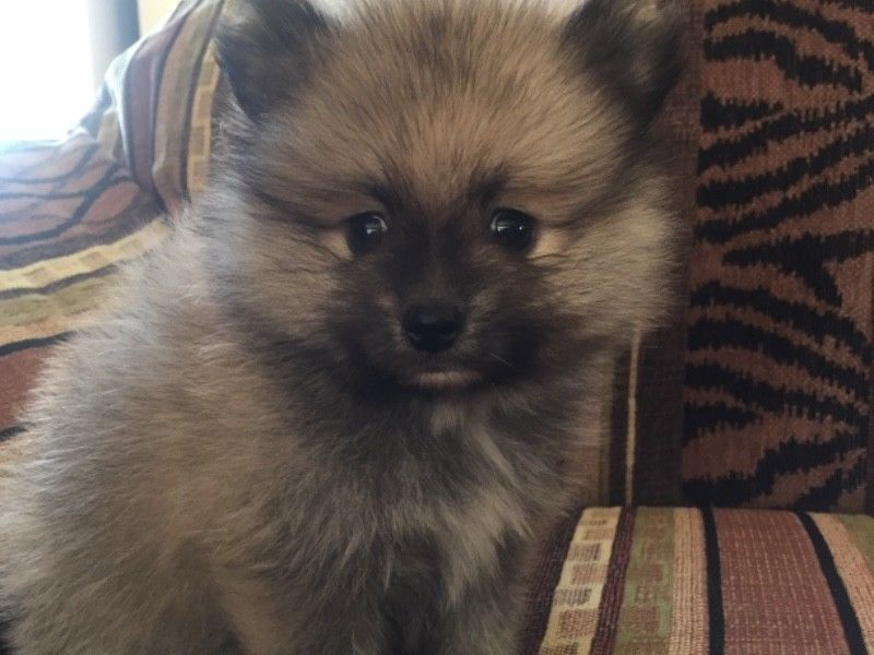 8wk old Miniature Toy poms for sale
