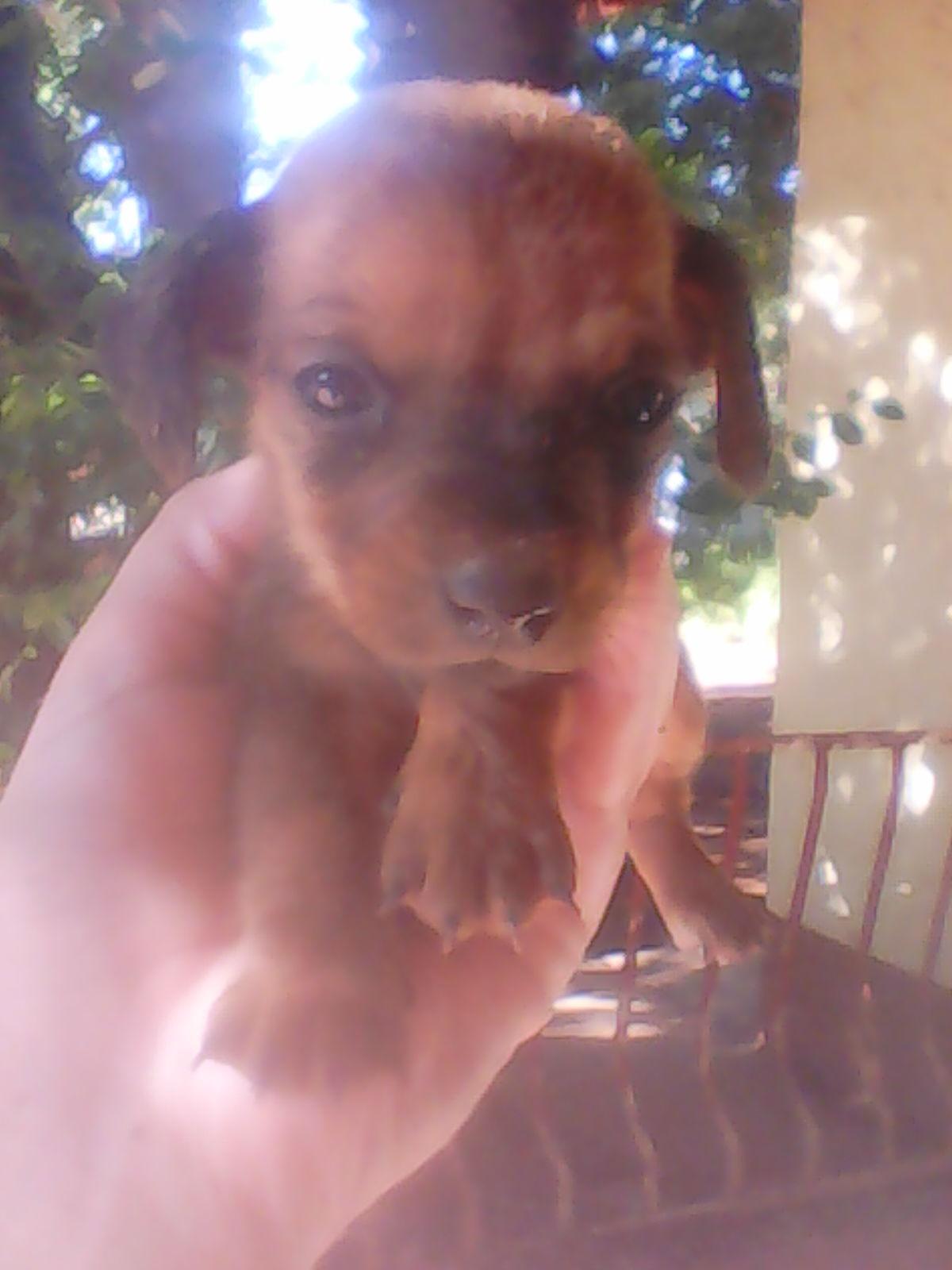Dutch hound puppy (worshondie)