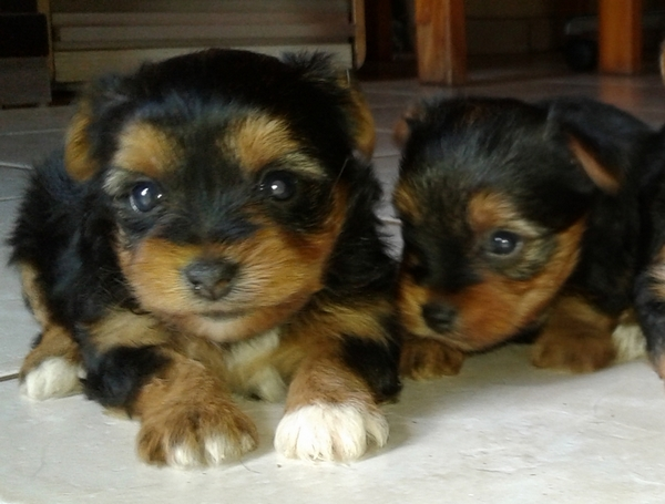 Yorkshire Terrier 2x miniature male puppies