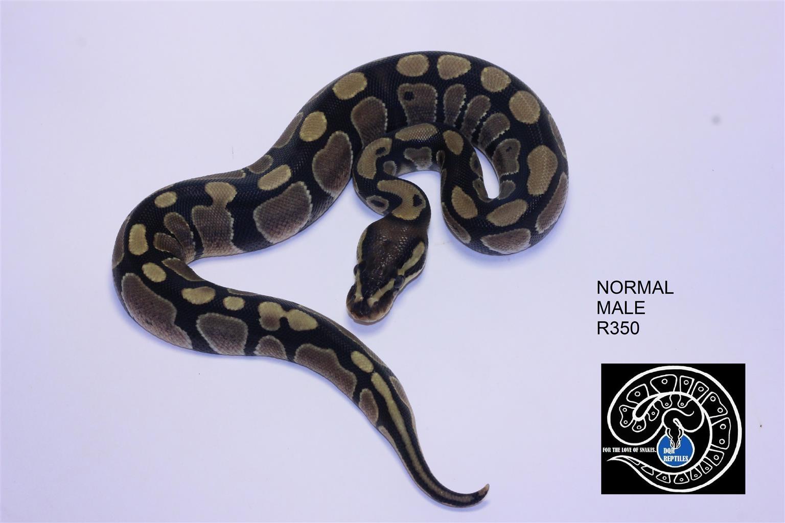 Ball python babies