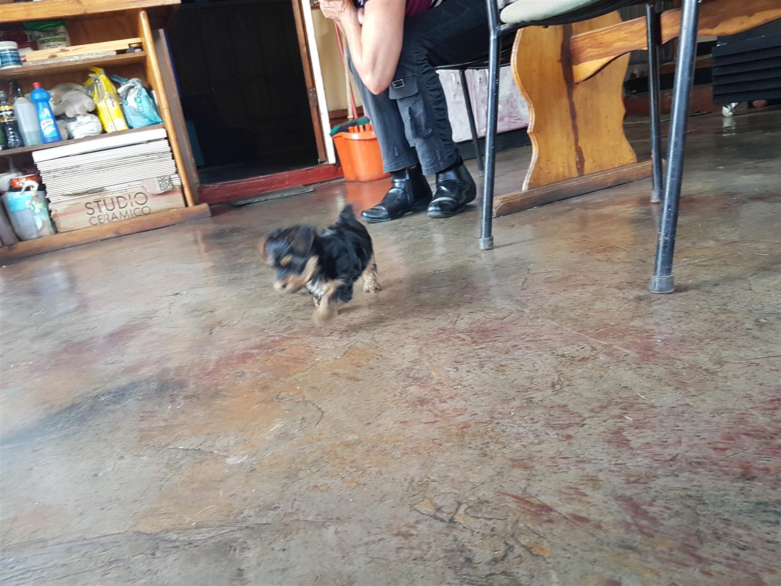 Yorkie puppy male