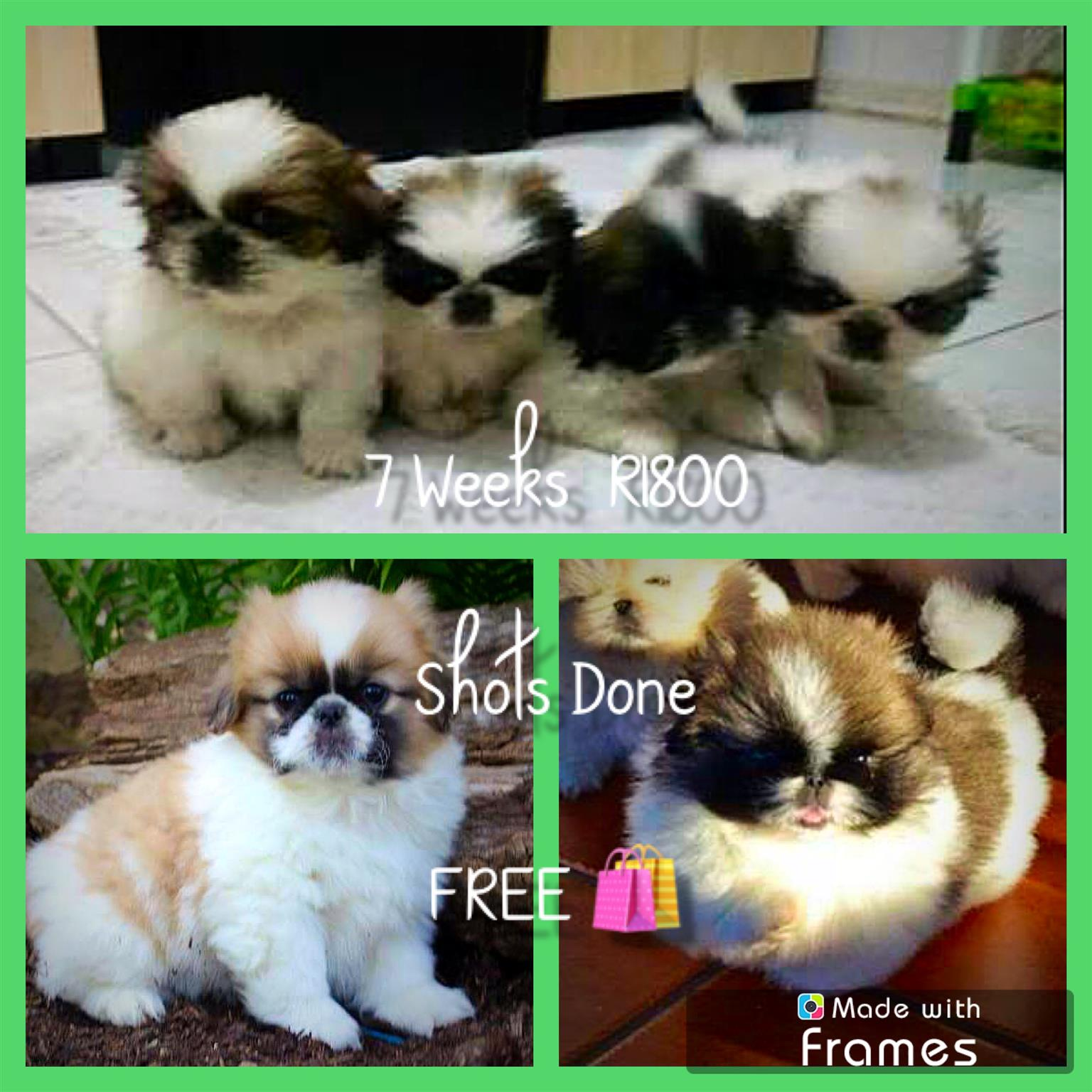 Male Pekingese Pups