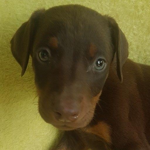 Large Liver Doberman pups