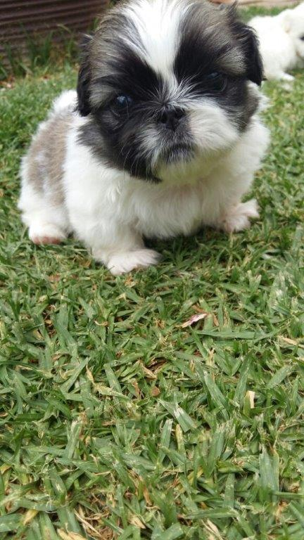 Miniature Pekingese Puppies for sale.