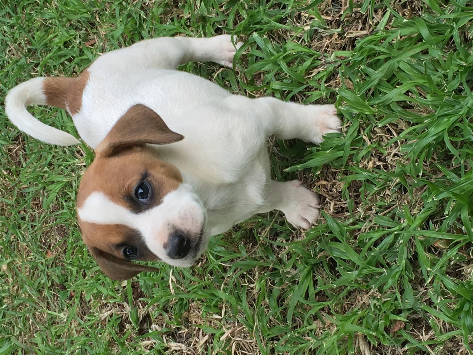 Jackrussel Puppies