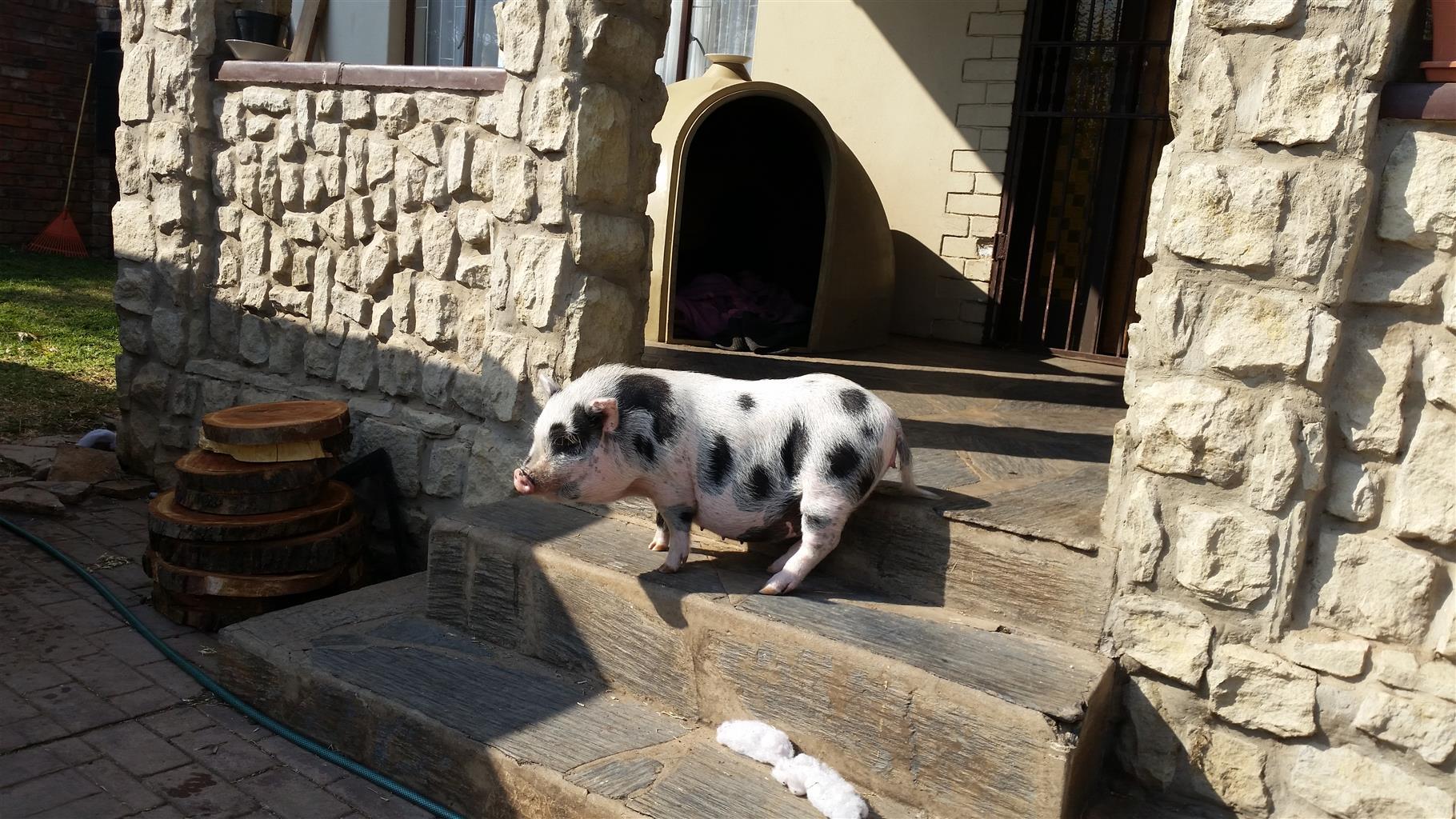 Pig for adoption