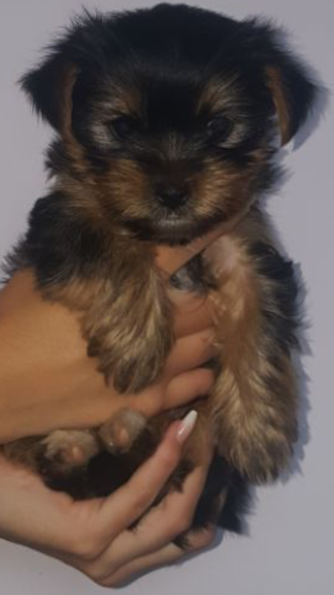 Pedigree Miniature Yorkies