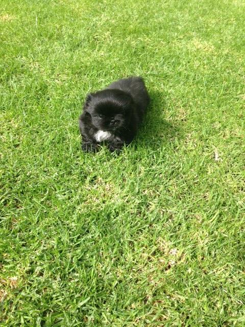 miniture pekingese male puppy