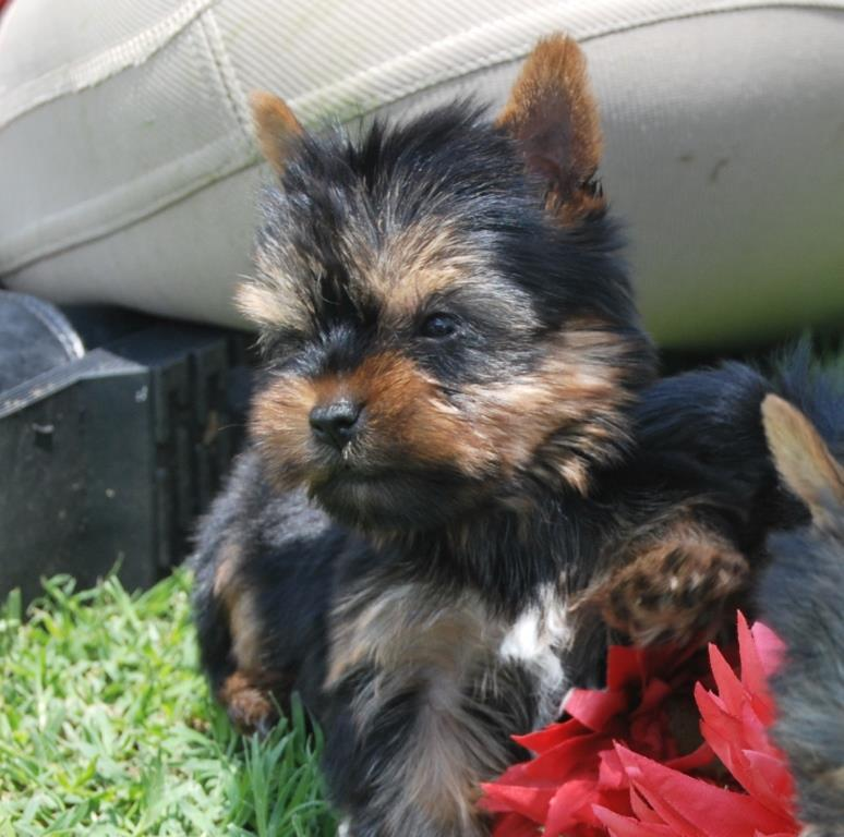 Yorkies ready to home - Tcup available (Registered parents)