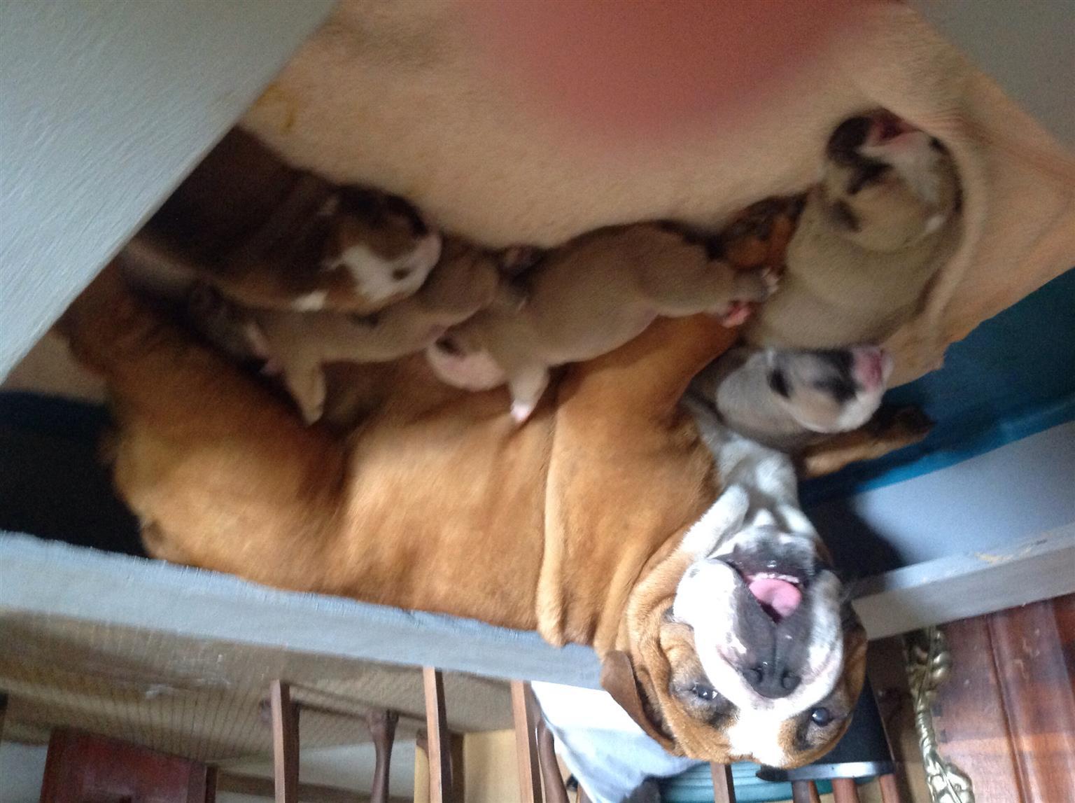Bulldog puppies  x 5