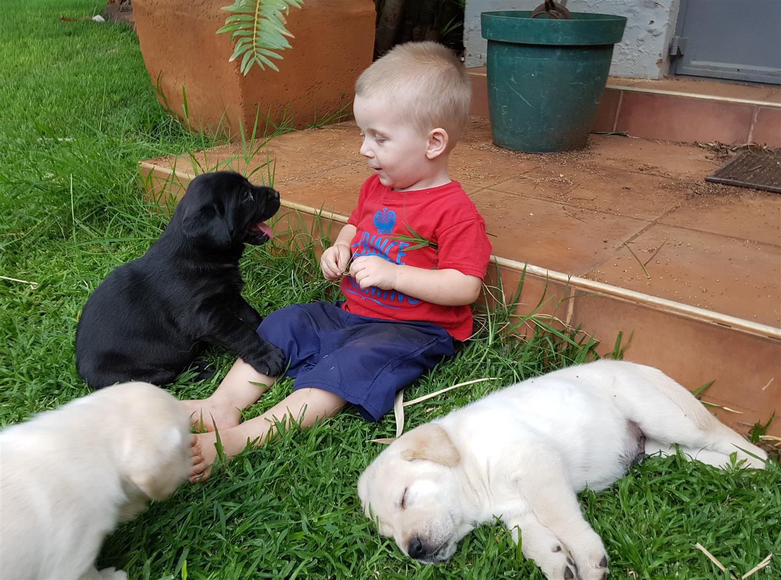 Pedigree Labrador puppies from top bloodlines for sale