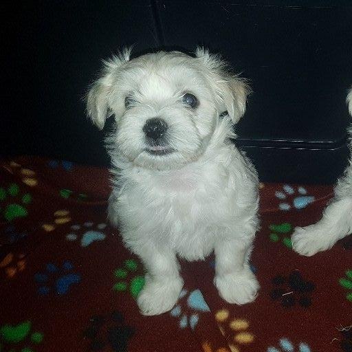 Mini Maltese babies