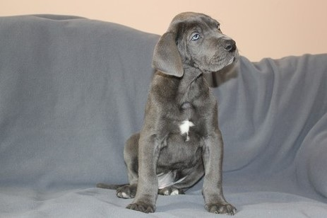 Great Dane Puppies -Purebred