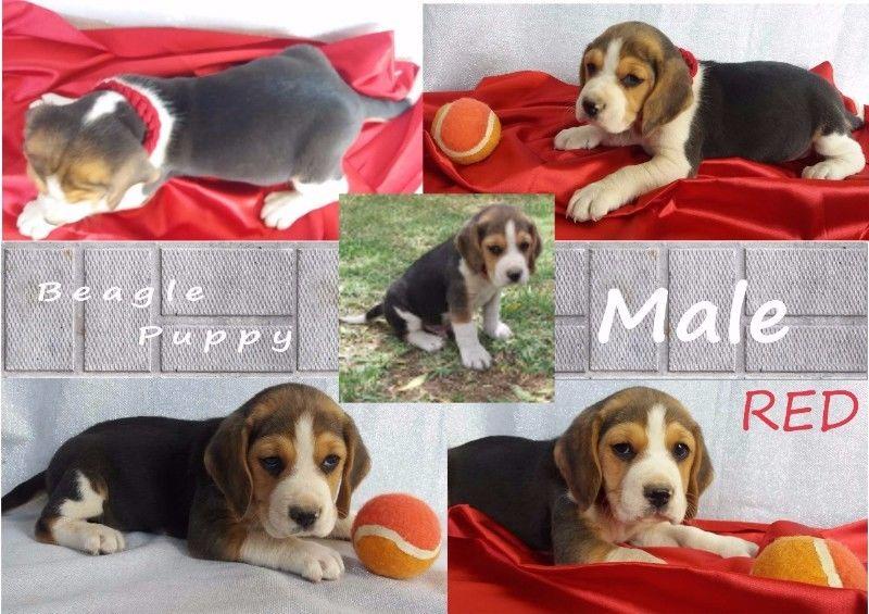 Beagle Puppies Purebred
