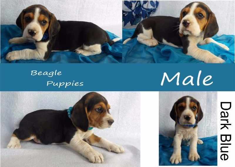 Beagle Puppies Purebred
