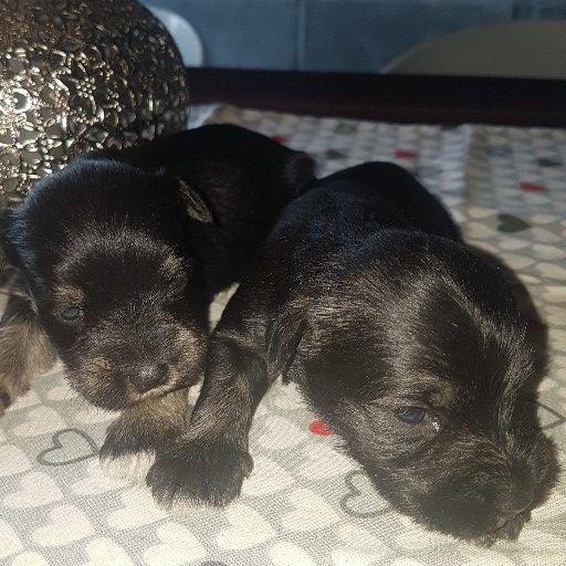Mini Salt and Peper SchnauzerPuppies